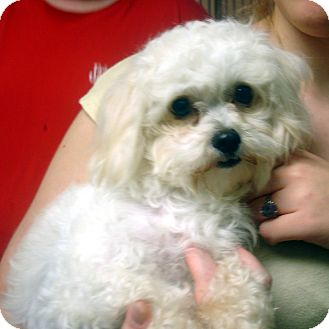 Maltese/Poodle (Toy or Tea Cup) Mix Dog for adoption in Manassas, Virginia - Susie