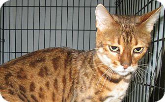 Bengal Cat for adoption in Pueblo West, Colorado - dollar