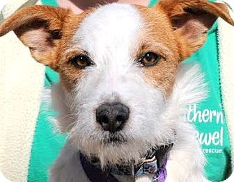"""Terrier (Unknown Type, Small) Mix Dog for adoption in Wakefield, Rhode Island - COOPER(GENTLE-CALM-""""SCRUFFY""""!!"""