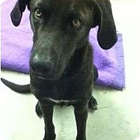 Adopt A Pet :: Domino - Pointblank, TX