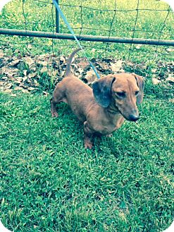 Dachshund Dog for adoption in Bedminster, New Jersey - Baxter