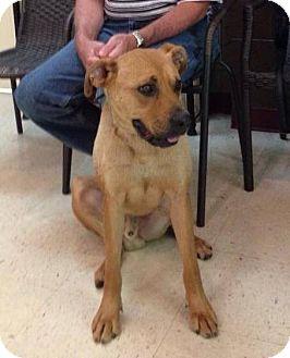 Boxer/German Shepherd Dog Mix Dog for adoption in Hazard, Kentucky - Indy