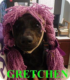 Chihuahua/Dachshund Mix Dog for adoption in Franklin, North Carolina - GRETCHEN