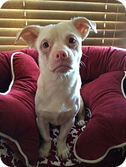 Chihuahua Mix Dog for adoption in East Hartford, Connecticut - Casper meet me 10/24