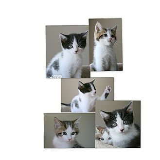 Domestic Shorthair Kitten for adoption in Sneads Ferry, North Carolina - Presley & Lovey