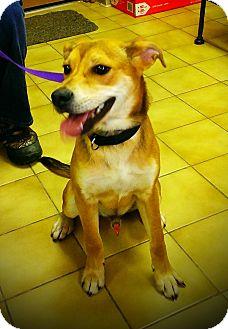 Hound (Unknown Type)/Labrador Retriever Mix Dog for adoption in New Castle, Pennsylvania - Flounder