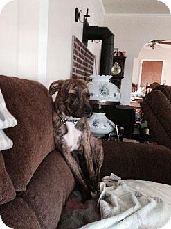 Pit Bull Terrier/Labrador Retriever Mix Puppy for adoption in Garwood, New Jersey - Rex