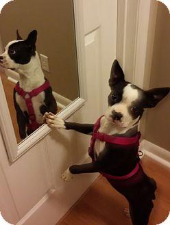 Boston Terrier Mix Puppy for adoption in Courtland, Alabama - Mollie