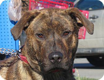 Labrador Retriever Mix Dog for adoption in Overland Park, Kansas - A072220 Camo