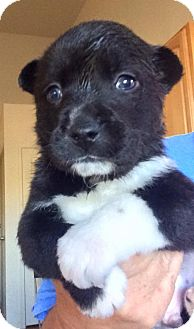 Border Collie/Australian Cattle Dog Mix Puppy for adoption in Cave Creek, Arizona - Snickers