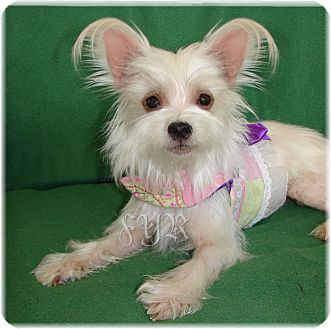 Yorkie, Yorkshire Terrier/Maltese Mix Dog for adoption in Palm City, Florida - Tinker Belle