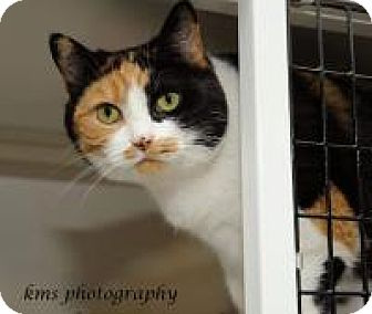 Calico Cat for adoption in La Grange Park, Illinois - Nola
