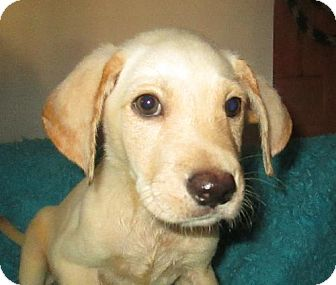 Labrador Retriever Mix Puppy for adoption in Waldron, Arkansas - ALLEN BARKLEY