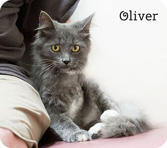 Domestic Longhair Cat for adoption in Phoenix, Arizona - Oliver