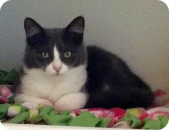 Domestic Mediumhair Kitten for adoption in Fairfax, Virginia - Candy