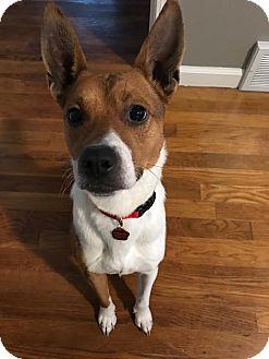 Basenji Mix Dog for adoption in Rochester Hills, Michigan - Bulleit