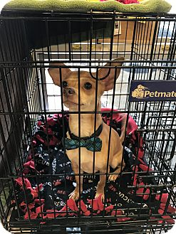Chihuahua Mix Dog for adoption in Portland, Oregon - A - CHESTER