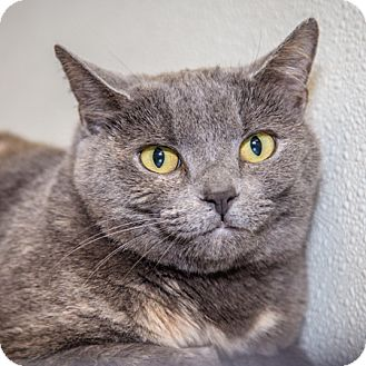 Domestic Shorthair Cat for adoption in Martinsville, Indiana - Cloudy