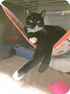 Domestic Shorthair Kitten for adoption in Cliffside Park, New Jersey - ELIJAH DOLITTLE