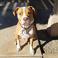 American Pit Bull Terrier/Boxer Mix Dog for adoption in Palm Springs, California - Rusty