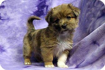 Shih Tzu/Sheltie, Shetland Sheepdog Mix Puppy for adoption in Westminster, Colorado - TOMMI