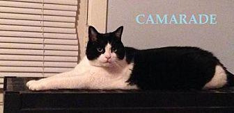 Domestic Shorthair Cat for adoption in Montreal, Quebec - Camarade