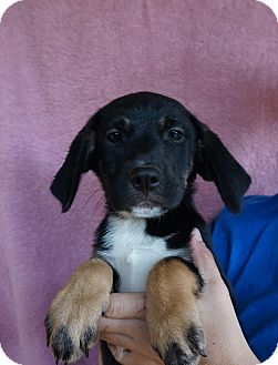 German Shepherd Dog/Labrador Retriever Mix Puppy for adoption in Oviedo, Florida - Shelly