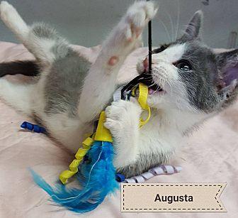 Domestic Shorthair Kitten for adoption in Overland Park, Kansas - Augusta