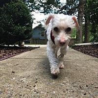 Adopt A Pet :: Archiebald - Alpharetta, GA