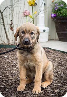 Anatolian Shepherd/Retriever (Unknown Type) Mix Puppy for adoption in Waterbury, Connecticut - Ginger
