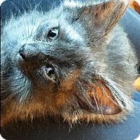 Domestic Longhair Kitten for adoption in Redding, California - Cloudyday