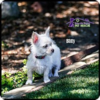 Maltese/Chihuahua Mix Puppy for adoption in Richardson, Texas - Bitty