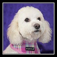 Adopt A Pet :: Mopsy - San Diego, CA