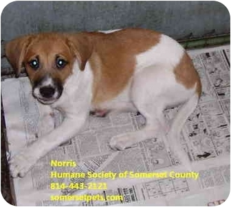 Beagle Mix Dog for adoption in Somerset, Pennsylvania - Norris