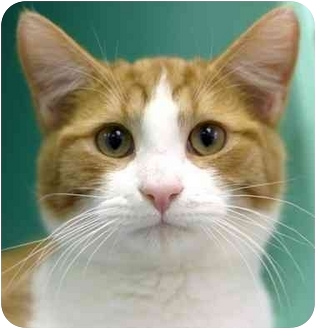 Domestic Shorthair Cat for adoption in Phoenix, Oregon - Douglas