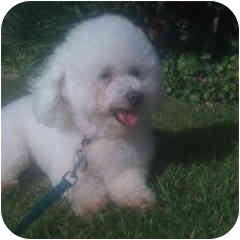 Bichon Frise Mix Dog for adoption in La Costa, California - Serena