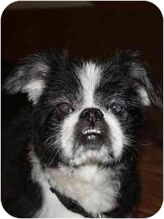 Shih Tzu Dog for adoption in Freeport, New York - Chancellor