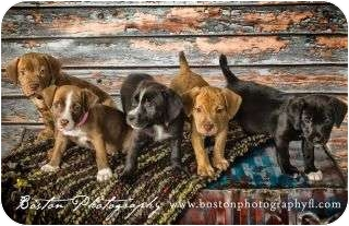 American Staffordshire Terrier Mix Puppy for adoption in Callahan, Florida - Litter of 5 staffie Mix pups