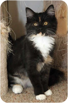 Domestic Longhair Kitten for adoption in Chandler, Arizona - Dorothy