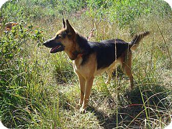 German Shepherd Dog/Shepherd (Unknown Type) Mix Dog for adoption in Redmond, Washington - Opera