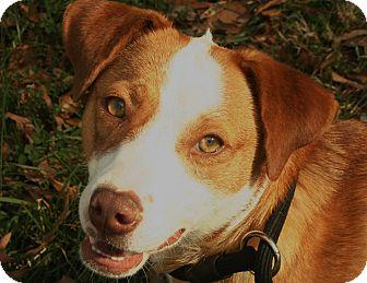 Border Collie/Labrador Retriever Mix Dog for adoption in Snohomish, Washington - Tiny Tikka