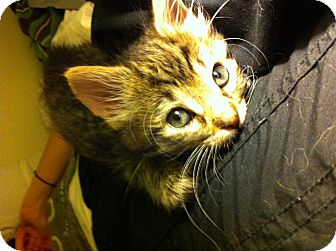 Bengal Kitten for adoption in Tracy, California - Julian-ADOPTED!