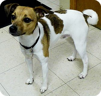 Jack Russell Terrier Mix Dog for adoption in Washington Court House, Ohio - Scooby