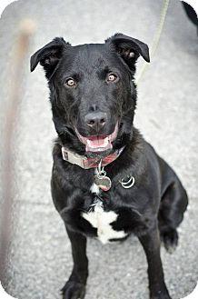 Labrador Retriever Mix Dog for adoption in Youngstown, Ohio - Maxx ~ Adoption Pending