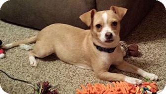 Chihuahua Mix Dog for adoption in Conway, New Hampshire - Mia