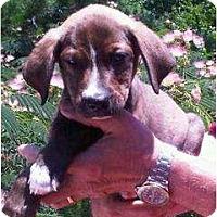 Adopt A Pet :: Brownie - Plainfield, CT