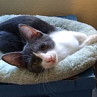 Domestic Shorthair Cat for adoption in Woodland Hills, California - Blossom