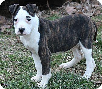Boxer/American Bulldog Mix Puppy for adoption in Allentown, Pennsylvania - Isabella