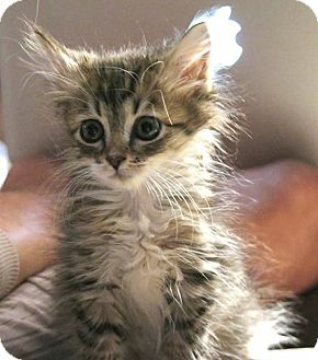 Domestic Mediumhair Kitten for adoption in Burlington, North Carolina - MAGENTA