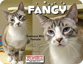 Siamese Cat for adoption in Davenport, Iowa - Fancy